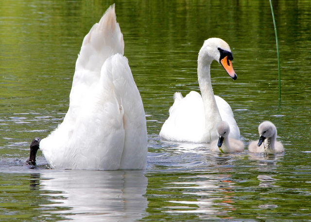 Embarrassing parents - swan duckling